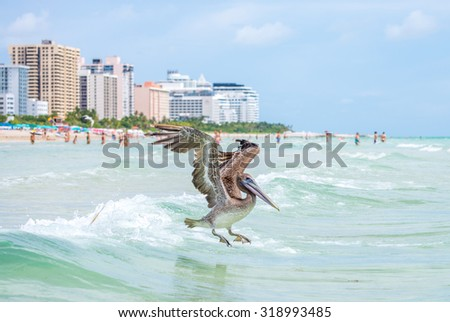 A brown pelican flies low over tropical sea water - Miami, Florida, USA - stock photo