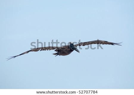 A brown pelican in flight with light blue sky
