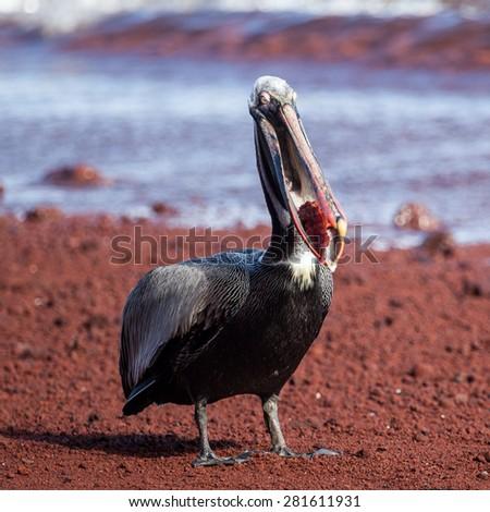 A brown pelican (Pelecanus occidentalis) eating red fish at Galapagos Islands, Ecuador, Pacific, South America   - stock photo