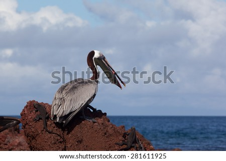 A brown pelican (Pelecanus occidentalis) eating red fish on the rock at Galapagos Islands, Ecuador, Pacific, South America