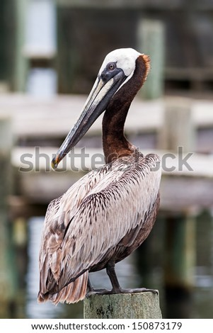A brown pelican (Pelecanus occidentalis) perches on a wooden piling at a harbor on North Carolina's Ocracoke Island. - stock photo