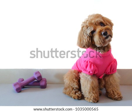 A brown poodle dog wearing pink t-shirt with dumbbell isolated on white background that have space for text.