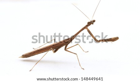 A brown praying mantis isolate on white background