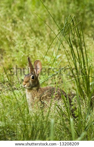 A brown rabbit is sitting in tall grass alert that someone is near. - stock photo