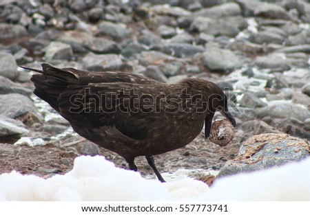 A brown skua struggles to break a penguin egg against the rocks near a Gentoo colony on Cuverville Island, Antarctica.