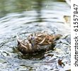A Brown Sparrow taking a bath in a pond - stock photo