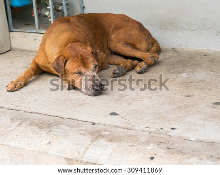 A brown stray dog sleep on pathway.