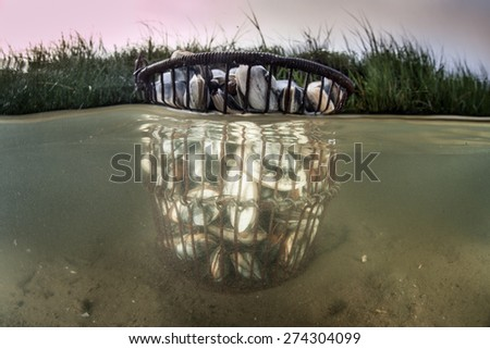 A bucket of mussels have been collected for dinner along the edge of a salt marsh in Cape Cod, Massachusetts. Bivalves such as these filter organic material out of the sea but also serve as food. - stock photo