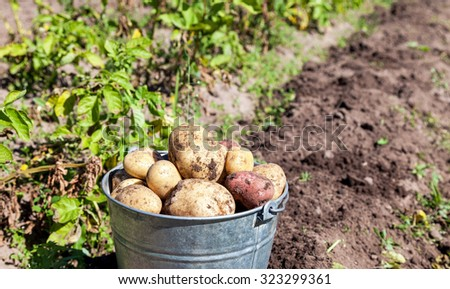 A bucket of potatoes new harvesting in the garden closeup - stock photo