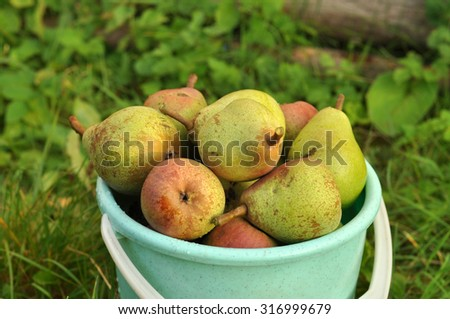 A bucket with ripe fresh garden pears placed on a green grass, close up  - stock photo
