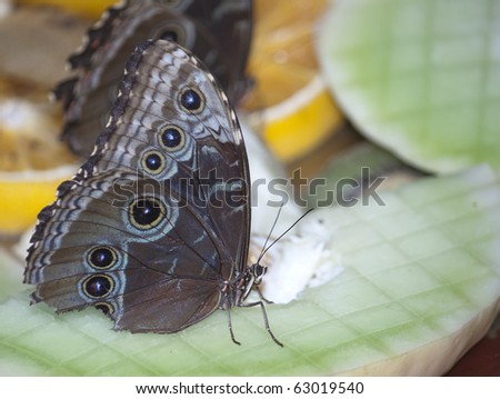 A buckeye butterfly eating sitting on some fruit - stock photo