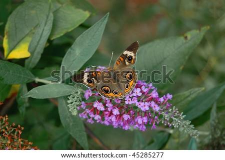A buckeye butterfly on a purple butterfly bush - stock photo