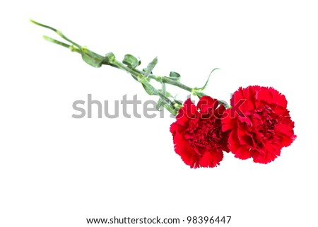 a bud of flower of carnation on a white background