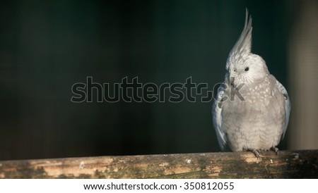 A budgerigar - stock photo