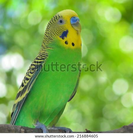 A budgerigar (Melopsittacus undulatus) on a branch.  - stock photo