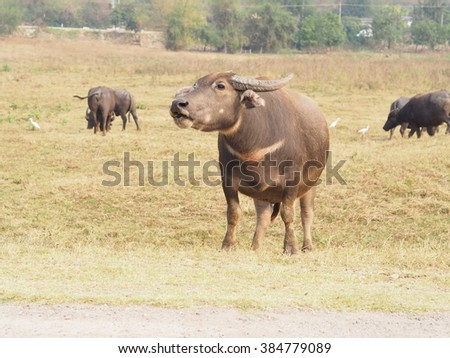 a Buffalo calling  for it's calf  the field, Thailand - stock photo