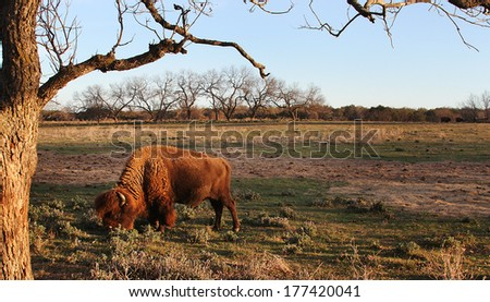 A buffalo eating grass in a field.