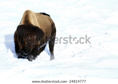 A buffalo gets ready to charge in Yellowstone National Park on a sunny winter's day. - stock photo