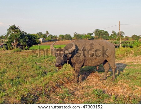 A buffalo in the agricultural land