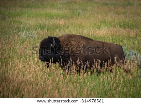 A buffalo in the field in front of the Grand Teton National Park area in Wyoming.