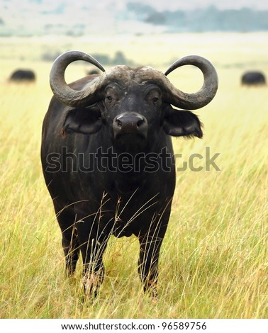 A buffalo standing in the grass of the African plains - stock photo