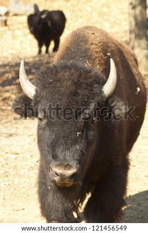 A bull buffalo can weigh over 2000 lbs. - stock photo