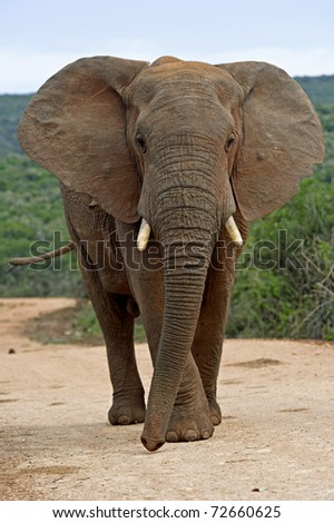 A Bull elephant challenges the photographer - stock photo