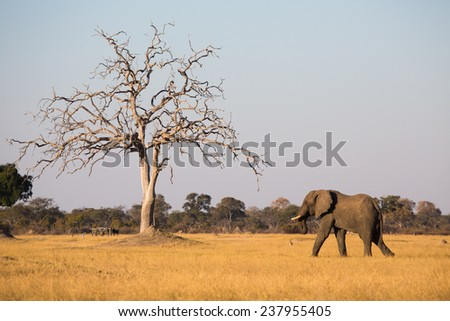 A bull elephant, Loxodonta africana, walking through yellow grass in Hwange National Park, Zimbabwe, highlights the size of a bare tree. - stock photo