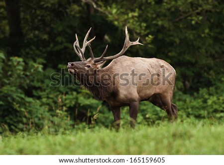 A bull elk emerges from the forest and bugles a challenge to other males during the fall rutting season
