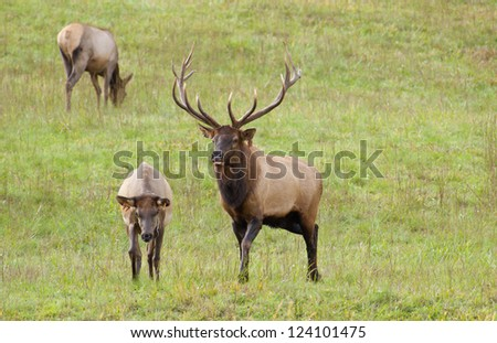 A bull elk keeps watch on his harem. - stock photo