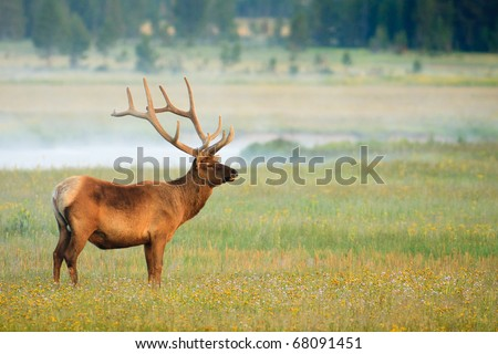 A bull elk with velvet covered antlers standing in the wild flowers of Gibbon Meadows, Yellowstone National Park. - stock photo