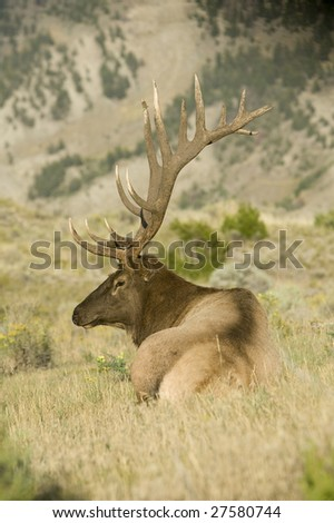 A bull (male) elk relaxes in a grassy meadow - stock photo