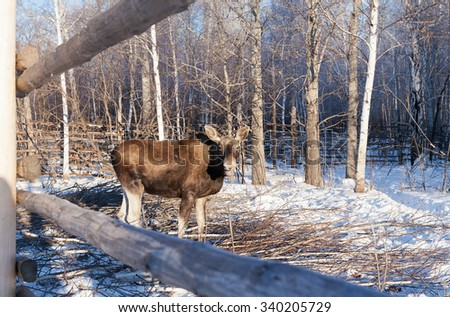 A bull moose in snowy landscape - stock photo