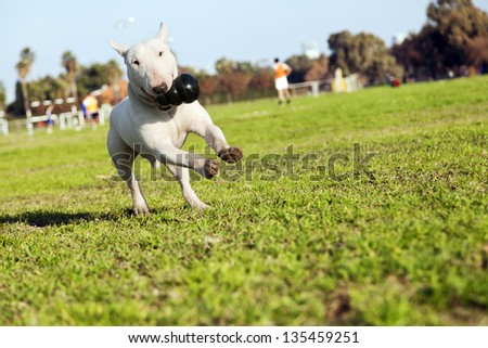 A Bull Terrier running on the grass at an urban park with a rubber chew toy in his mouth. - stock photo