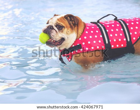 a bulldog in a life vest with a tennis ball having fun at a local public pool toned with a retro vintage instagram filter app or action effect - stock photo