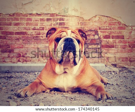 a bulldog in an alley with a brick wall done with a vintage retro instagram filter - stock photo
