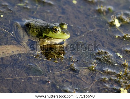 A bullfrog sitting in a swamp waiting on prey.