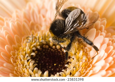 A bumble-bee collects pollen on (shallow dof) - stock photo