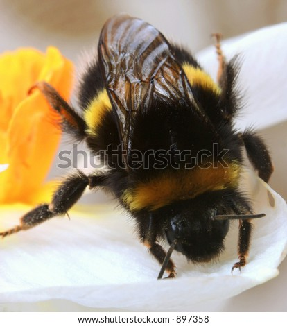 A bumble bee doing a handstand on a daffodil petal. - stock photo