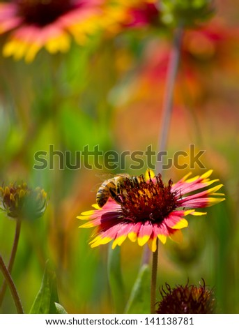 A bumble bee on a wildflower. - stock photo
