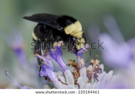 A bumble feeding on a purple sage (Salvia leucophylla) flower.