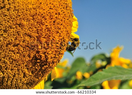 a bumblebee (Bombus spp.) looking for nectar on a sunflower (Helianthus annuus) head - stock photo