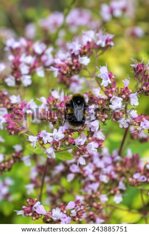 A Bumblebee Collects Pollen from Flowers - stock photo