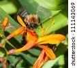 A bumblebee comes into land on a crocosmia bloom. - stock photo
