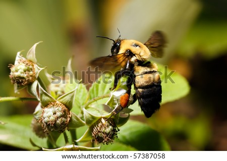 A bumblebee flying around a Raspberry blossom. - stock photo