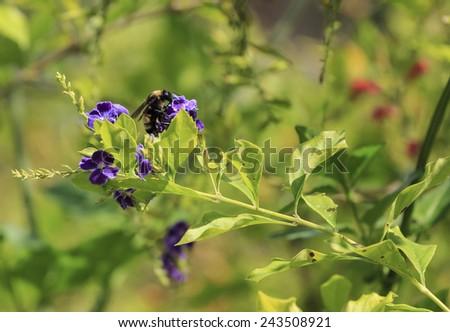 A Bumblebee pollinates a flower. - stock photo