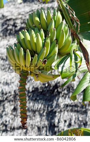 A bunch of bananas in Nungwi, Zanzibar - stock photo