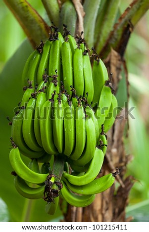 A bunch of bananas in their natural environment