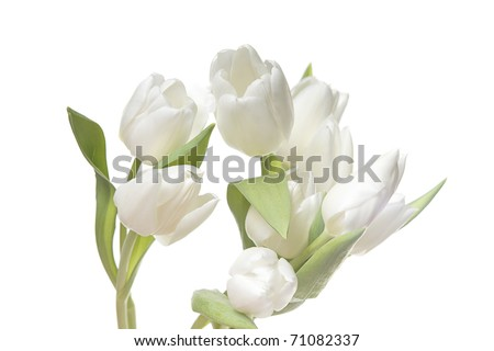 a bunch of beautiful white easter spring tulips isolated on white - stock photo