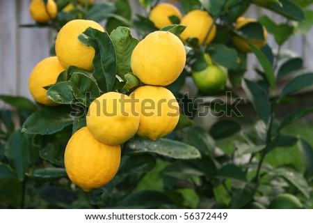 A bunch of Bright Yellow Meyer Lemons on the tree - stock photo